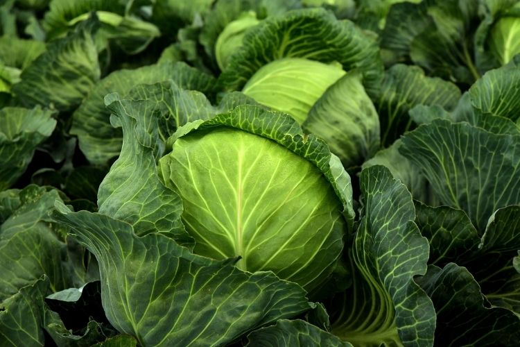 How To Growing and Caring for Cabbage