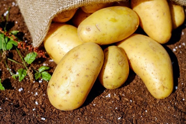 We Plant Potatoes Correctly